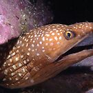 Sawtooth Moray off Montague Island by Erik Schlogl