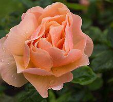 Peach Rose with Raindrops by Georgia Mizuleva