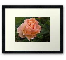 Peach Rose with Raindrops Framed Print