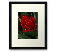 One Very Red Tulip in the Rain Framed Print