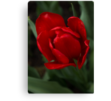 One Very Red Tulip in the Rain Canvas Print