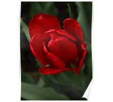 One Very Red Tulip in the Rain Poster