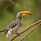 Cheeky Hornbill by vivsworld