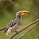 Cheeky Hornbill by vivsworld