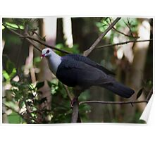 Rainforest Pigeon Poster