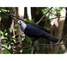 Rainforest Pigeon Photographic Print