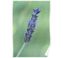 Lavender on muted green Poster