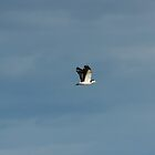 Masked Lapwing, Spur-winged Plover (Vanellus Miles) in flight by Matthew Hockley