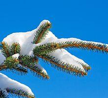 Snowy Pine Bough by Kenneth Keifer