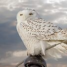 Perfect Pose Of The Snowy Owl by Thomas Young