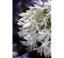 flower-agapanthus-white Photographic Print