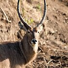 Kruger Waterbuck by Jennifer Sumpton