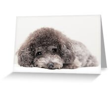 toy poodle Greeting Card
