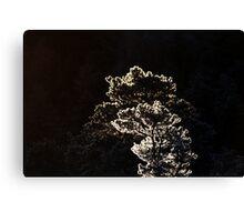 16.1.2014: Pine Trees at Winter Morning Canvas Print