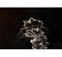 16.1.2014: Pine Trees at Winter Morning Photographic Print