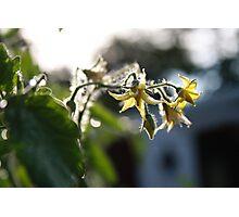 Tomato flowers Photographic Print
