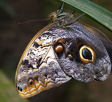 Owl Butterfly - Caligo by Lepidoptera