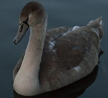 Sleepy Cygnet by Robert Carr