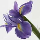Blue Iris by edesigns14