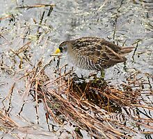 Sora Sighting by Carol Bailey White