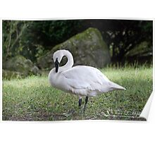 Trumpeter Swan Summer Poster