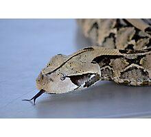 Gaboon Viper/Adder Photographic Print