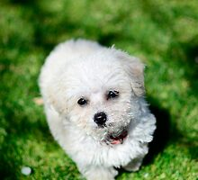 Maltese Puppy by litbykristen
