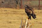 Adolescent Eagle by NatureGreeting Cards ©ccwri