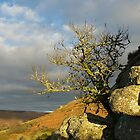 Lone tree on Bonehill Tor in Dartmoor by peteton