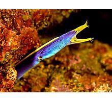 Blue Ribbon Eel - Somo Somo Strait - Fiji Photographic Print
