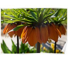 Crown Imperial Flowers Poster