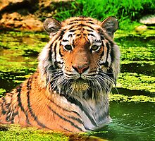 Bathing Tiger by amira