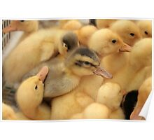 Ducklings at the Market Poster