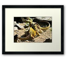 Land Iguanas Fighting Framed Print