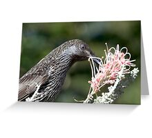 Little Wattle Bird ~ Concentration  Greeting Card