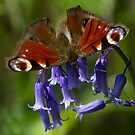 Peacock Butterfly by Neil Bygrave (NATURELENS)