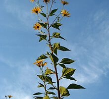 Helianthus by Maria1606