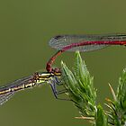 Large Red Damselfies by Neil Bygrave (NATURELENS)
