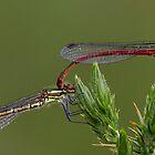 Large Red Damselfies by Neil Bygrave (NATURELENS)