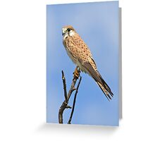 Nankeen Kestrel Greeting Card
