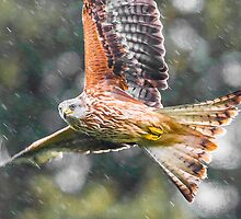 Red Kite Rainy by TimNatureArt