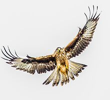 Red Kite Hover by TimNatureArt