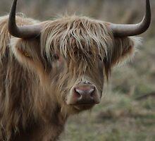 Highland Cattle by EmilyWednesday