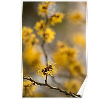 Chinese Witch Hazel Poster