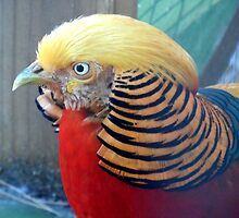 Red golden pheasant by Raven Schofield_Blackheart