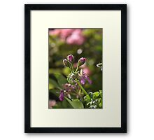 flower-geranium buds Framed Print