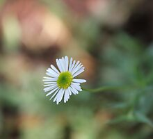 Daisy time by Maree  Clarkson