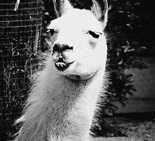 What The Llama BW by DDabug