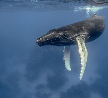 Humpback whale by Wolfgang Zwicknagl Photography