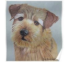 Norfolk Terrier Poster